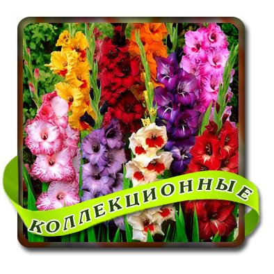 Гладиолусы  (Российская коллекция)