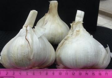Лукочеснок Рокамболь 0,3 кг