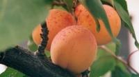 Абрикос среднеранний Краснощекий (самплод)