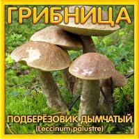 Грибница Подберезовик Дымчатый