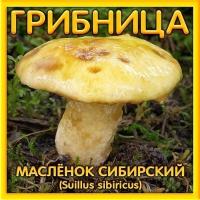 Грибница Масленок Сибирский