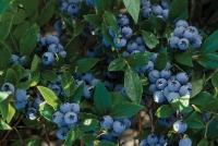 Голубика садовая Норт Кантри