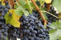 Виноград Неретинский неукрывной