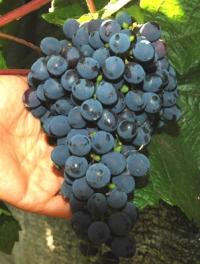 Виноград Мариновский неукрывной