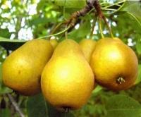 Груша Лимонадная осенняя