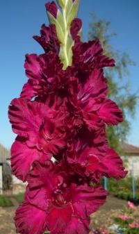 Гладиолус Бургунди 10/+ крупноцветковый