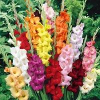 Гладиолус  Смесь Крупноцветковых
