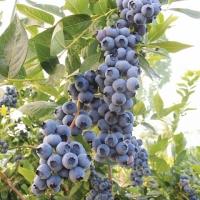 Голубика садовая Дюк P9